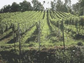 Neu Angelegter Weingarten Ried Lassenberg 2002